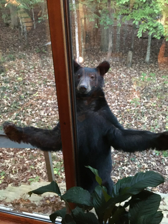 A bear standing at the back door with his arms extended.