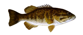how to catch smallmouth bass in small rivers