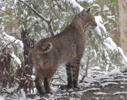 A photo of a Bobcat taken by our neighbor.