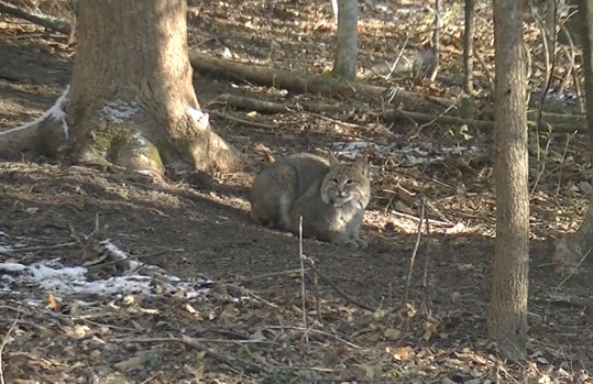 Bobcat, hunting behind the Begley home.