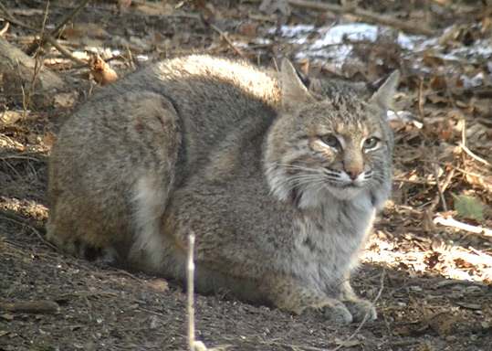 Close up view of a Bobcat at the Begley home.