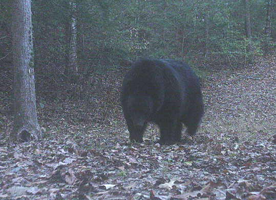 Photo of a large black bear taken on our neighbor's trail camera.