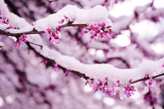 Snow on the redbud trees at Gracehill B & B on March 21, 2016.