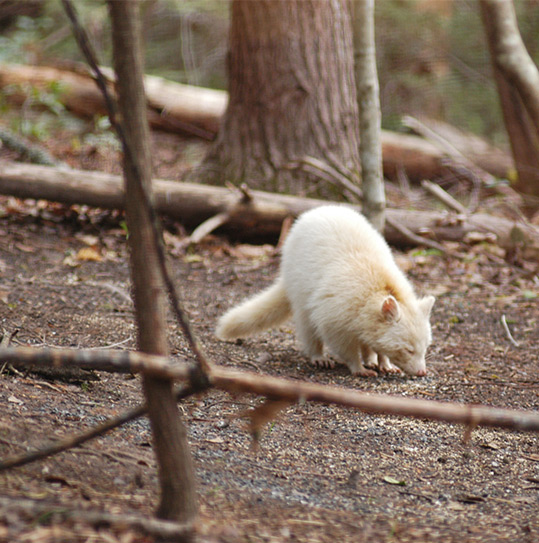 Photo of an Albino White Raccoon Sniffing the Ground