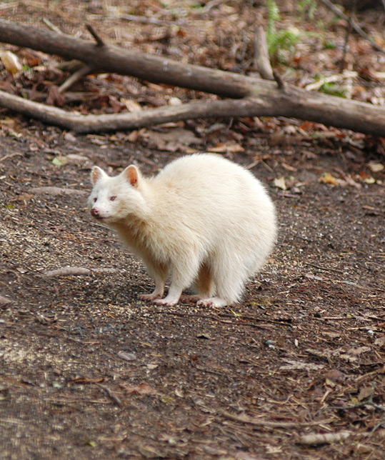 Photo of a Rare Albino Raccoon Looking Up