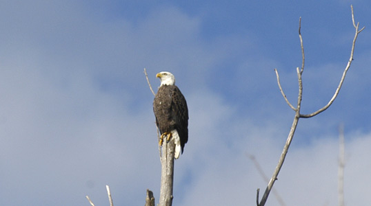 Bald Eagle photographed in Townsend on the Little River