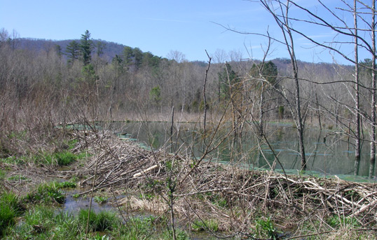 Beaver Dam at Laurel Lake